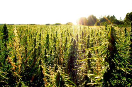 Industrial hemp coming to Texas